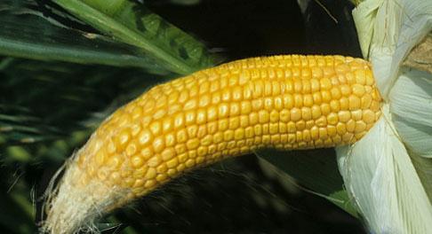 corndroop