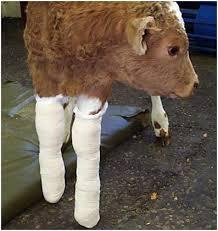 injured calf